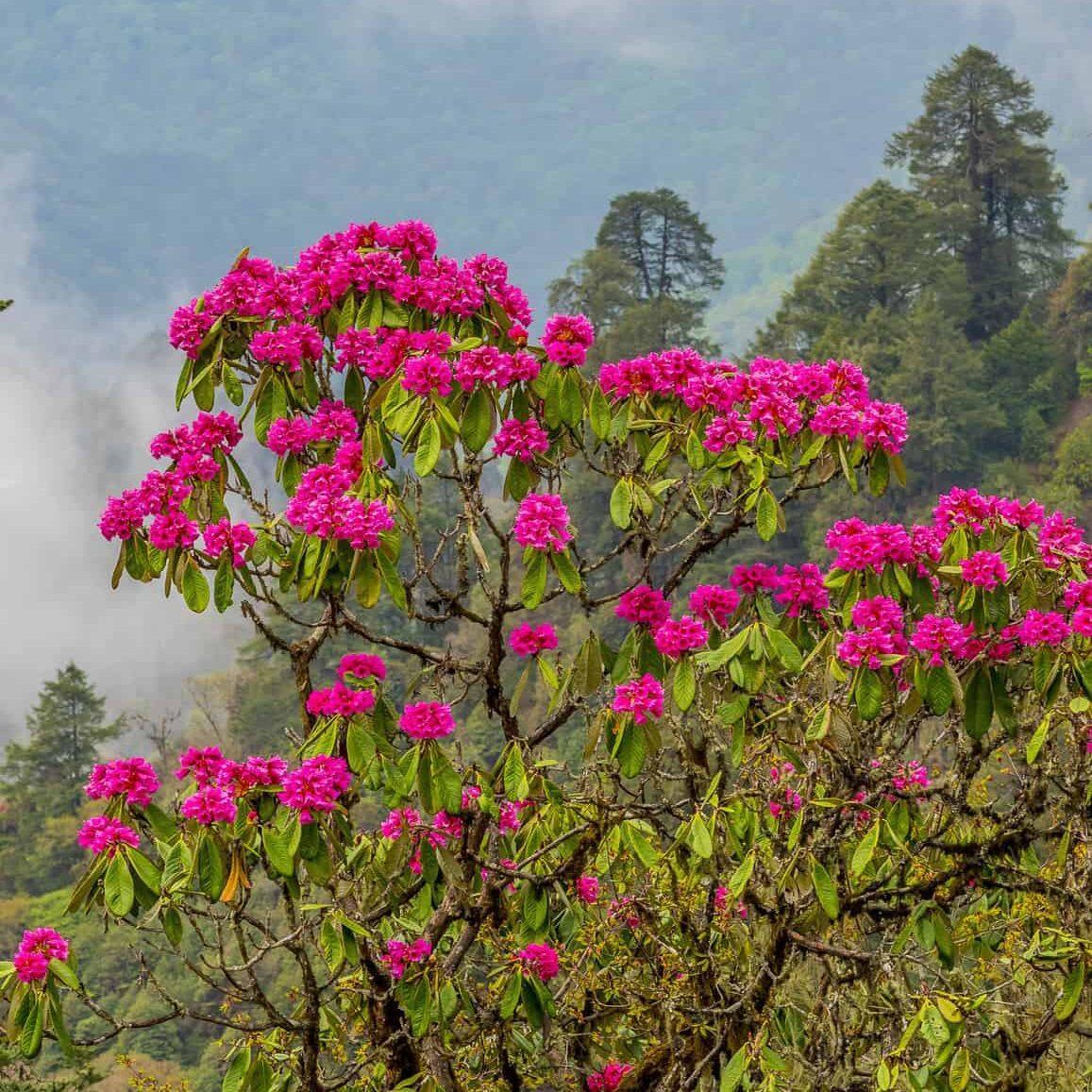 Beautiful pink flower in Bhutan landscape